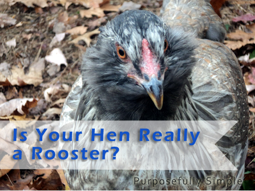 How to Tell a Rooster From a Hen. It can be tough but there are some signs to look for pretty early on. Find out in this post.