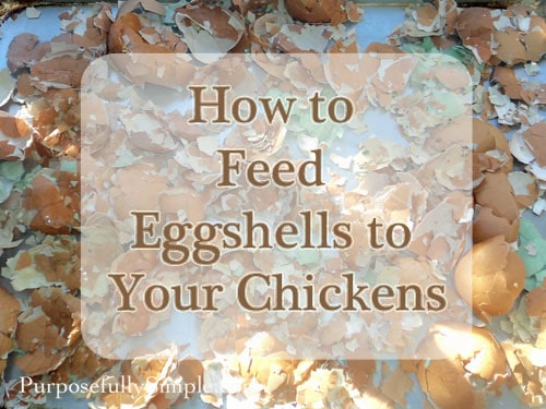 How to Feed Eggshells to Your Chickens