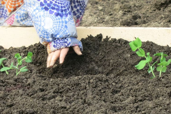 Spring-garden-planting-peas
